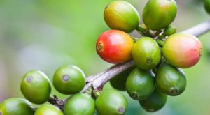 Coffee Berry - The Next Big Anti-Oxidant